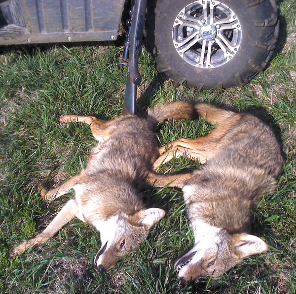 Two Missouri Coyotes