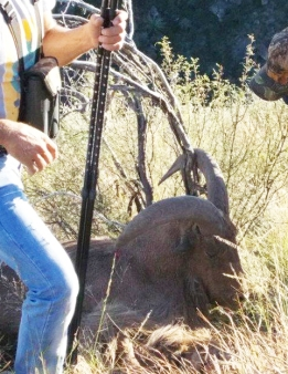 Aoudad caught in brush.