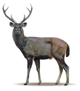 Hunting Sambar Deer Sierra Bullets